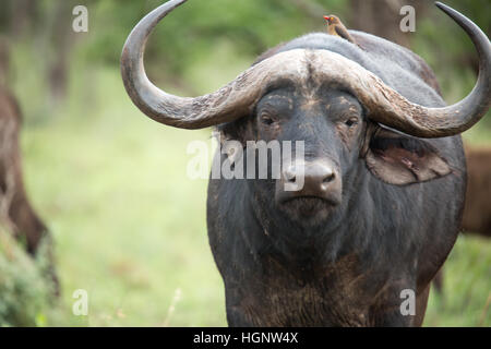 Close up of young buffalo - Stock Photo