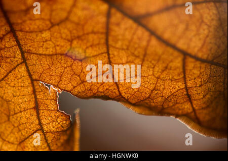 A detail of a dead brown leaf lit by the sun. - Stock Photo