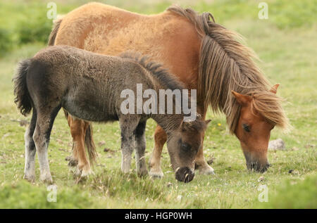 A mare and foal Dartmoor ponies (Equus ferus caballus) feeding on the moors. - Stock Photo