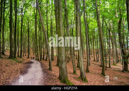 Primeeval Beech Forest at Jasmund National Park on the island of Rügen, Mecklenburg-Vorpommern, Germany - Stock Photo