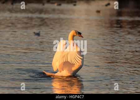 Mute Swan Cygnus olor stretching - Stock Photo