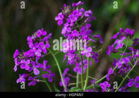 cluster of bright purple / magenta and white flowers  green, Beautiful flower
