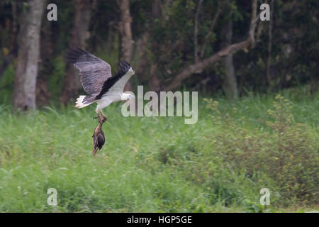 White-bellied Sea Eagle (Haliaeetus leucogaster) carrying a dead Plumed Whistling-duck (Dendrocygna eytoni) - Stock Photo