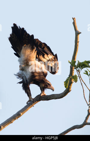 Wedge-tailed Eagle (Aquila audax) - Stock Photo