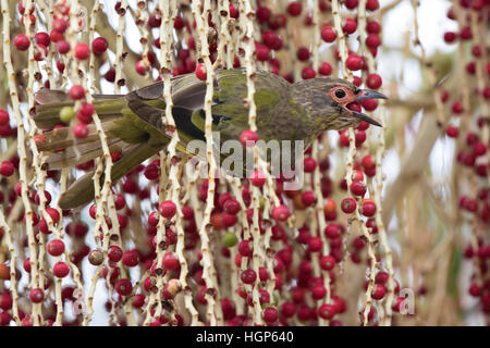 immature male Australasian Figbird (Sphecotheres vieilloti) feeding on  Alexandria Palm (Archontophoenix alexandrae) - Stock Photo