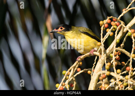 male Australasian Figbird (Sphecotheres vieilloti) feeding on  Alexandria Palm (Archontophoenix alexandrae) fruit - Stock Photo