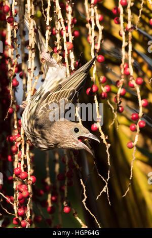 female Australasian Figbird (Sphecotheres vieilloti) feeding on  Alexandria Palm (Archontophoenix alexandrae) fruit - Stock Photo
