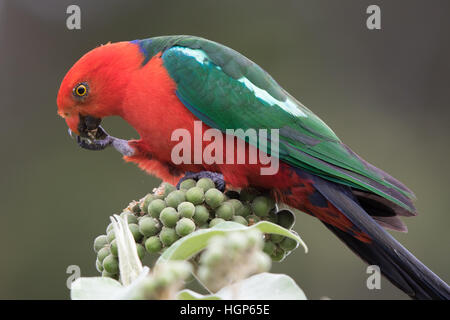 male Australian King Parrot (Alisterus scapularis) eating the fruit of a tobacco plant - Stock Photo