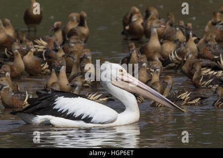 Australian Pelican (Pelecanus conspicillatus) swimming amongst a flock of Plumed Whistling-ducks (Dendrocygna arcuata) - Stock Photo