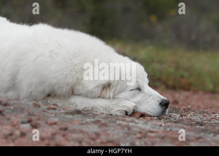 Dog Polish Tatra Sheepdog / Tatra Mountain Sheepdog / Podhale adult portrait - Stock Photo