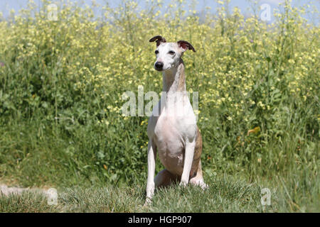 Dog Whippet (English Greyhound Miniature) adult sitting in a meadow - Stock Photo