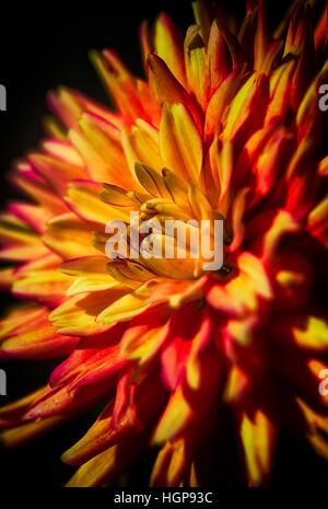Fine art still life color dynamic macro portrait of a vivid fiery intense red orange single isolated dahlia blossom - Stock Photo