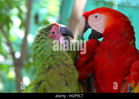 Macaw love - A red & a green parrot looking lovingly towards each other & talking, Roatan, Honduras, Central America, - Stock Photo