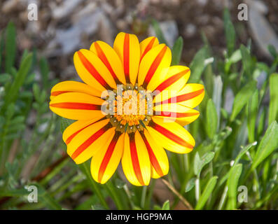 Vibrant red and yellow Gazania flower blossom with unique striped leaves surrounded by green leaves in Western Australia. - Stock Photo
