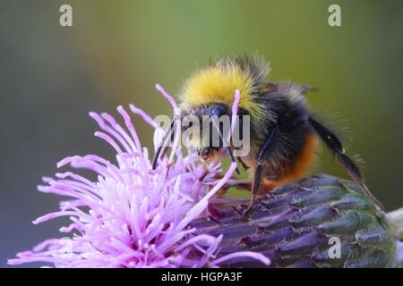 Bumble bee and Creeping thistle - Stock Photo