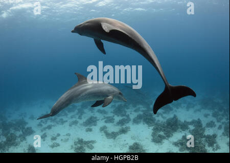 Two Indo-Pacific bottlenose dolphins (Tursiops aduncus) are playing underwater in the Red Sea. - Stock Photo