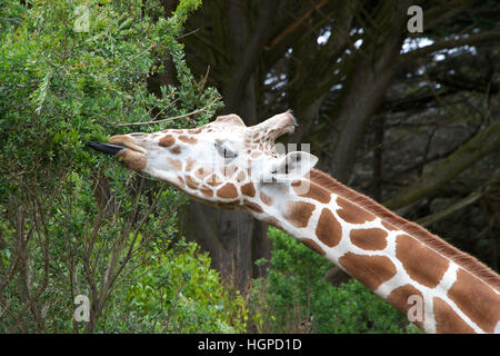 giraffe eating tree leaves tongue sticking out to grab leaves. - Stock Photo
