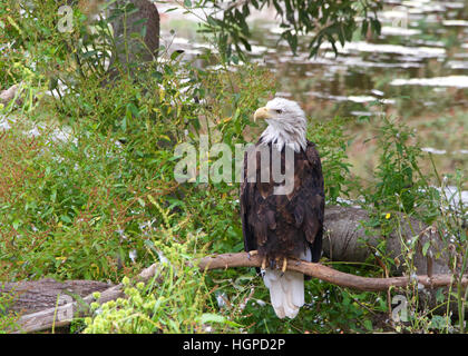 American bald eagle perched on a branch near the ground looking to viewers left, light reflecting off water in the - Stock Photo