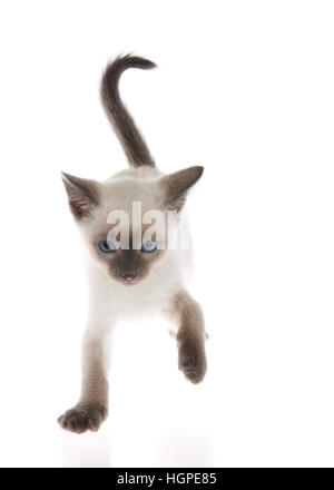 Siamese kitten standing on slightly reflective surface, one paw in the air, walking, looks like dancing. Looking - Stock Photo