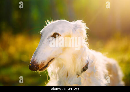 Close Up Of White Russian Hunting Dog, Sighthound, Russkaya Psovaya, Psovoi Borzoi In Sunset Sunlight - Stock Photo