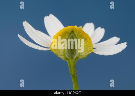 Echte Kamille mit im Längsschnitt hohlem Blütenboden, Matricaria recutita, Chamomilla recutita, Matricaria chamomilla, - Stock Photo