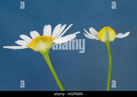 Vergleich zwischen Echter Kamille (rechts mit im Längsschnitt hohlem Blütenboden) und Unechter Kamille (links mit - Stock Photo