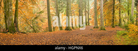 Panorama of avenue of giant old douglas fir trees at the hermitage near dunkeld, perthshire, scotland, UK - Stock Photo