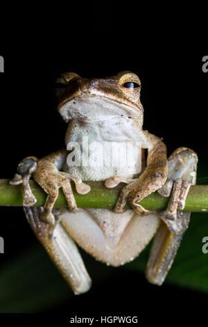 Common tree frog (Polypedates leucomystax) - Stock Photo