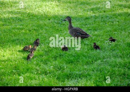 Family of pacific black ducks with mother and her seven ducklings on bright green grass in Western Australia. - Stock Photo