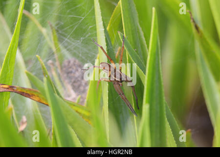 Female Fen Raft Spider (Dolomedes plantarius), from reintroduction scheme in East Anglia, guarding a web with spiderlings - Stock Photo