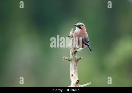 Eurasian Jay Garrulus glandarius sitting on a dead tree - Stock Photo