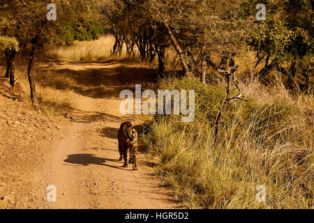 Big male tiger walking on a grassy road, Ranthambore National Park, India - Stock Photo