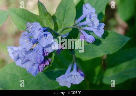 Virginia Bluebells, Mertensia virginica, - Stock Photo