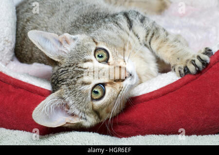 Three month old gray and brown striped tabby cat laying sideways in red and cream colored bed. Looking at viewer. - Stock Photo