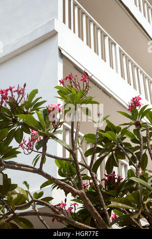 Beautiful blooming branches with pink flowers next to white building. Plumeria tree in a hotel garden - Stock Photo