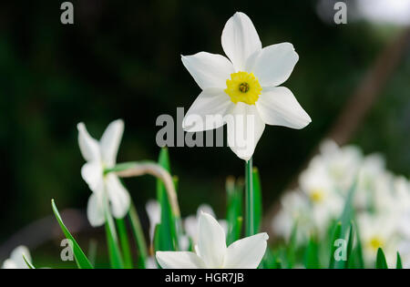 Beautiful White and yellow daffodils. Yellow and white narcissus in a garden. Soft focus or shallow depth of field - Stock Photo