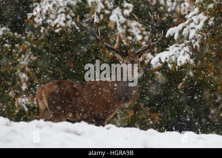 A red deer stag stands to attention in the heavy snowfall at Fountains Abbey near Ripon in North Yorkshire. - Stock Photo