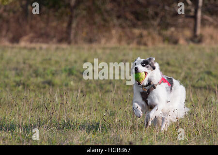 Welsh sheepdog running and playing with a tennis ball - Stock Photo