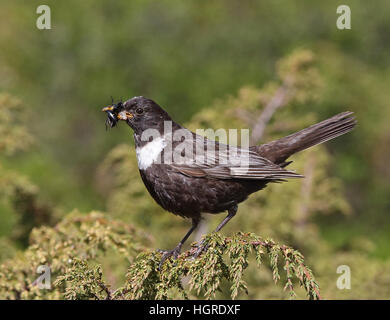 Ring ouzel catching food for chicks