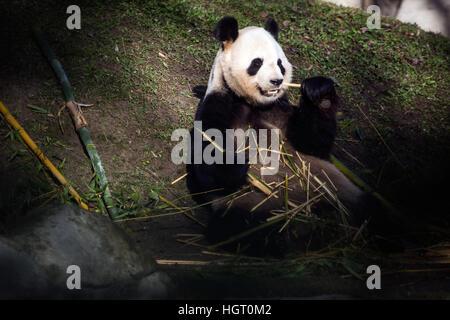 Madrid, Spain. 12th Jan, 2017. Panda Bing Xing, Chulina's father, eating bamboo during the presentation of Chulina - Stock Photo