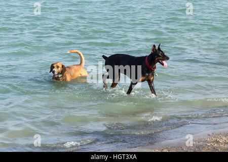 Beagle Corgi mutt cooling off in the waters of a dog park retention pond as his Doberman pal eagerly waits to fetch - Stock Photo
