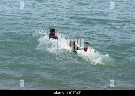 Doberman pinscher and a german shepherd mix nearly hidden in a splash of water, caught up in a two dog race to fetch - Stock Photo