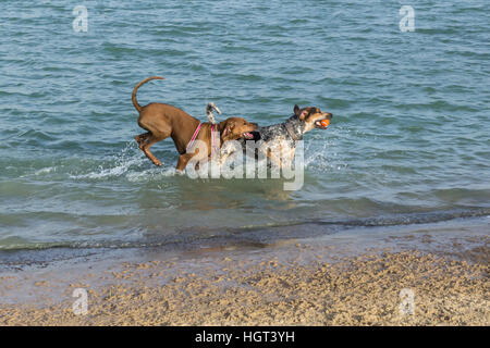 Coonhound and Rhodesian Ridgeback mutts playing fetch in a dog park pond splashing near the beach - Stock Photo