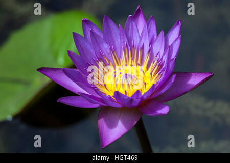 Blue lotus, also blue water lily or sacred blue lily (Nymphaea caerulea) flower, Sri Lanka - Stock Photo