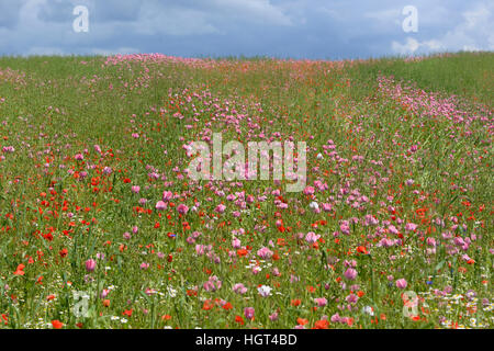 Poppy field with opium poppies (Papaver somniferum) and common poppies (Papaver rhoeas), Hesse, Germany - Stock Photo