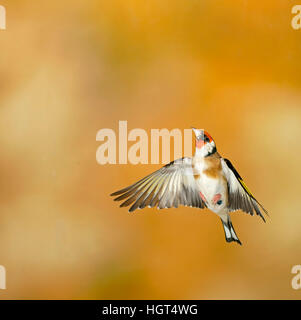 European goldfinch (Carduelis carduelis) in flight, Germany - Stock Photo
