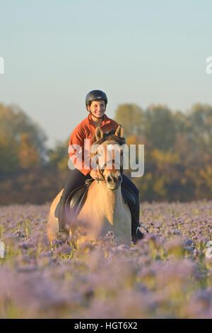Junge  Reiterin auf Fjordpferd (Norweger) galoppiert in einem herbstlichen Luzerne Feld / Young rider on back of - Stock Photo