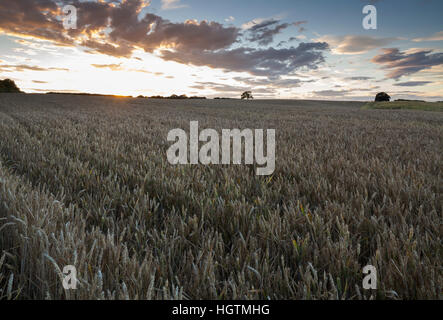 The sun setting over a large field of ripened wheat with an intersting cloudscape above, near Holdenby in Northamptonshire, - Stock Photo
