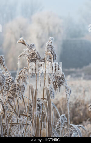 Phragmites australis. Common Reed covered in hoar frost by a canal on a December morning. Oxfordshire, England - Stock Photo