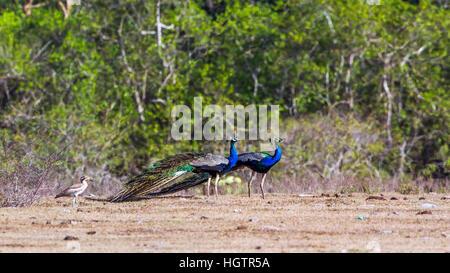 Indian peafowl in Bundala national park, Sri Lanka ; specie Pavo cristatus family of Phasianidae - Stock Photo